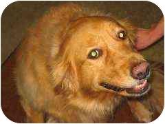 Golden Retriever Dog for adoption in Cleveland, Ohio - Ginger
