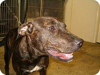Mountain Cur Dog for adoption in Upper Sandusky, Ohio - lacey
