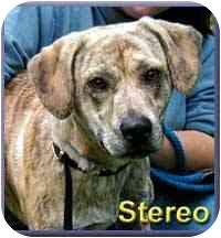Hound (Unknown Type)/Pit Bull Terrier Mix Dog for adoption in Aldie, Virginia - Stereo