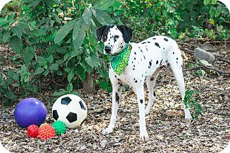Dalmatian Mix Dog for adoption in Victoria, British Columbia - Dottie