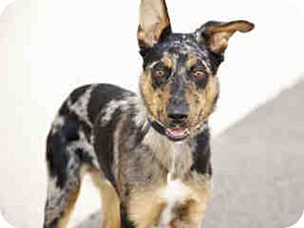 Australian Cattle Dog/Kai Dog Mix Dog for adoption in Litchfield Park, Arizona - Bowser - Only $65 adoption!