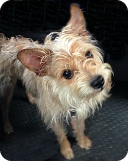 Silky Terrier Mix Dog for adoption in McKinney, Texas - Rocky