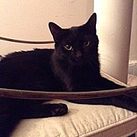 Domestic Shorthair Cat for adoption in New York, New York - Cuatro
