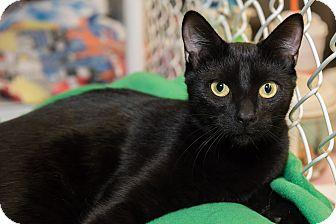 Domestic Shorthair Kitten for adoption in Freeport, New York - Tommy