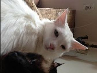 Domestic Longhair Cat for adoption in Naples, Florida - Enzo