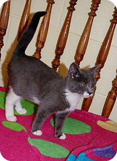 American Shorthair Cat for adoption in Salem, West Virginia - Inky