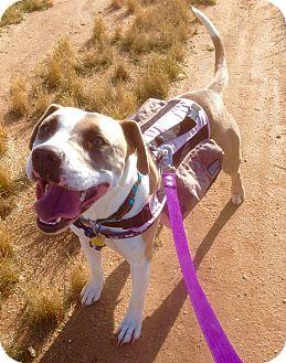 Harrier/Boxer Mix Dog for adoption in Santa Ana, California - Bongo (ARSG)