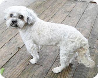 Shih Tzu Dog for adoption in Umatilla, Florida - Parker