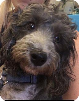 Poodle (Miniature) Mix Dog for adoption in Las Vegas, Nevada - Mr. Higgins