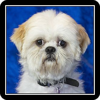 Shih Tzu Mix Dog for adoption in San Diego, California - Dominick