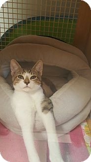 Domestic Shorthair Kitten for adoption in Brea, California - BENNY