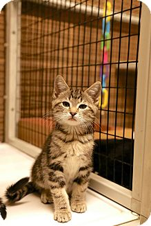 Domestic Shorthair Cat for adoption in Ripon, California - Draco