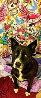 Australian Shepherd/Collie Mix Dog for adoption in Fowler, California - Queenie