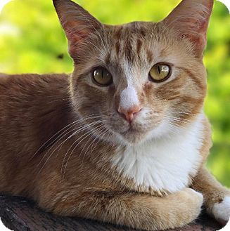 American Shorthair Cat for adoption in Los Angeles, California - Thor