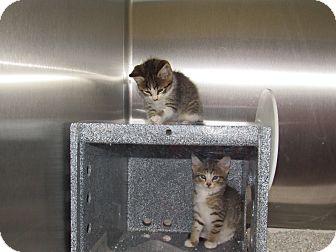 Domestic Shorthair Kitten for adoption in Henderson, North Carolina - Kamikaze Kittens (5)