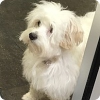 Maltese Mix Dog for adoption in Fort Worth, Texas - LAYLA