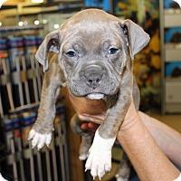 Adopt A Pet :: LYDIA - Las Vegas, NV