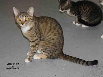 Domestic Mediumhair Cat for adoption in Hanford, California - A091147