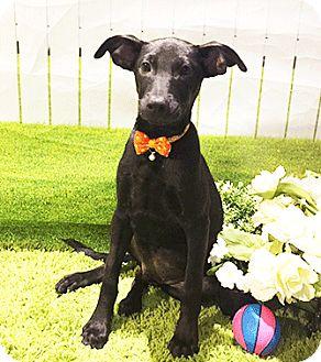 Labrador Retriever Mix Puppy for adoption in Castro Valley, California - Yacco