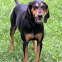 Adopt A Pet :: Nomy - Dallas, TX