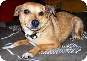 Chihuahua/Feist Mix Dog for adoption in Latrobe, Pennsylvania - Annabelle
