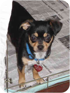 Chihuahua/Miniature Pinscher Mix Dog for adoption in San Diego, California - Polly