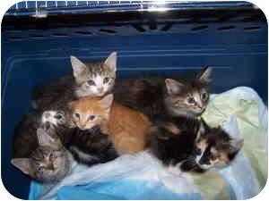 Domestic Shorthair Kitten for adoption in Chadds Ford, Pennsylvania - Kittens!