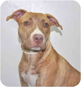 Pit Bull Terrier Mix Dog for adoption in Port Washington, New York - Carly