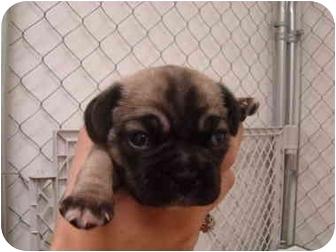 Pug/Beagle Mix Puppy for adoption in Vandalia, Illinois - Addison