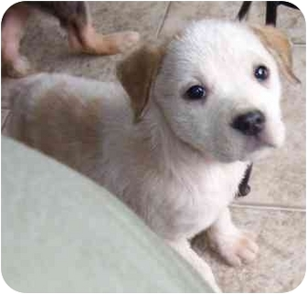 Terrier (Unknown Type, Medium)/Hound (Unknown Type) Mix Puppy for adoption in White Plains, New York - Pershia