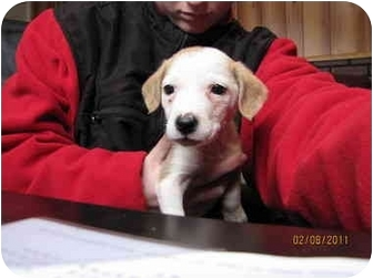 Beagle Mix Puppy for adoption in Lawrenceburg, Tennessee - Shiloh