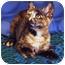 Photo 2 - Domestic Shorthair Kitten for adoption in Encinitas, California - Cinnamon