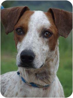 Redtick Coonhound/Greyhound Mix Dog for adoption in Defiance, Ohio - Roderick