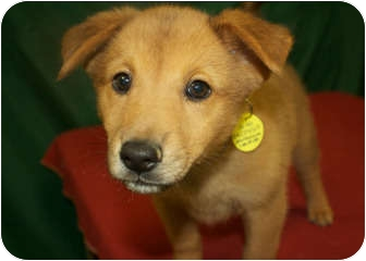 Chow Chow/Shiba Inu Mix Puppy for adoption in Westminster, Colorado - BELLA