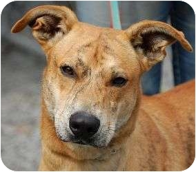Mountain Cur Mix Dog for adoption in Beacon, New York - Hunter