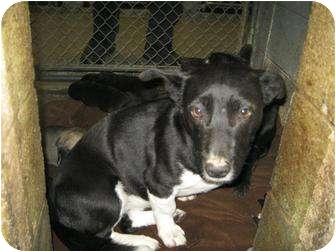 Shepherd (Unknown Type) Mix Dog for adoption in Henderson, North Carolina - Sky