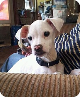 Chihuahua Mix Puppy for adoption in Astoria, New York - Jasper