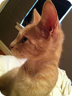 Domestic Longhair Kitten for adoption in St. Louis, Missouri - Clyde
