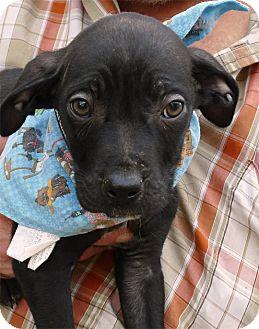 Labrador Retriever/Border Collie Mix Puppy for adoption in Sacramento, California - Von Rockefeller aka Rockie