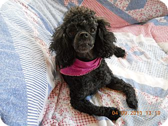 Miniature Poodle Dog for adoption in Charlotte, North Carolina - Foxy