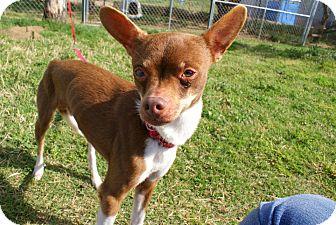 Chihuahua Mix Dog for adoption in Yuba City, California - 03/16 Rudy