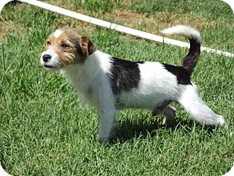 Jack Russell Terrier Mix Dog for adoption in Austin, Texas - Max in Bartlesville