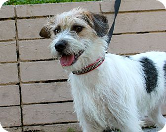 Parson Russell Terrier/Jack Russell Terrier Mix Puppy for adoption in Los Angeles, California - Dash