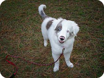 Australian Shepherd Puppy for adoption in Madison, Wisconsin - Twinkle