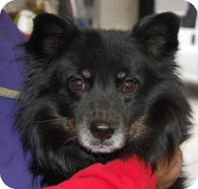 Pomeranian Mix Dog for adoption in Brooklyn, New York - Cody