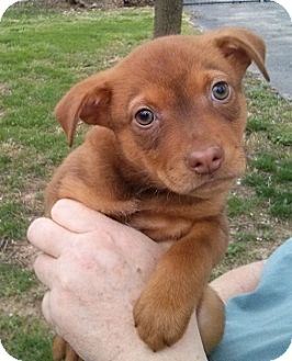 Labrador Retriever/Chihuahua Mix Puppy for adoption in House Springs, Missouri - Dazzle