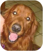Golden Retriever Dog for adoption in Cleveland, Ohio - Rusty