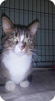 Domestic Shorthair Cat for adoption in Glen Mills, Pennsylvania - Bindi