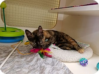 Domestic Shorthair Kitten for adoption in Warren, Michigan - Linx