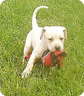 Mastiff/Great Dane Mix Puppy for adoption in Waller, Texas - Olivia